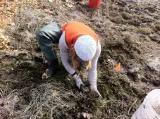 Digging flowering rush at City Beach